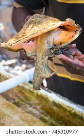 Live conch snail peeking out of it's shell.
