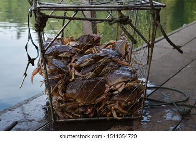 Live crabs in crab trap on dock