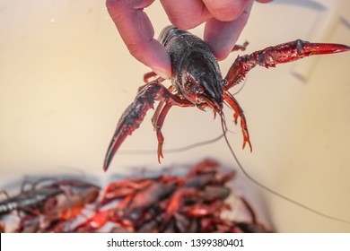 Live crawdad with pinchers stretched out held up by hand above blurred crayfish below - selective focus