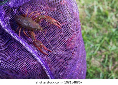 Live crawfish in bag bought for a boil