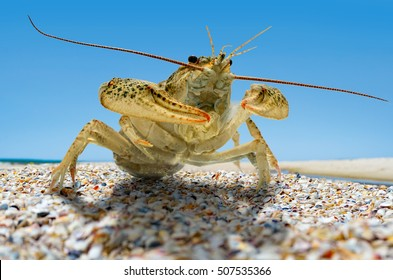 Live crayfish on the beach by the sea.