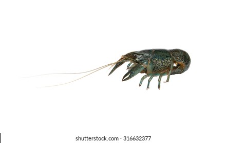 Live Cuban Live Cuban marble crayfish isolated on white background isolated on white background