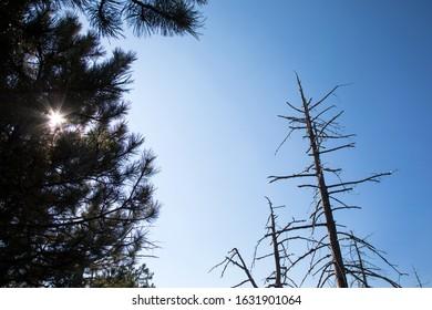 Live and dried pine trees on Maljen mountain, Serbia