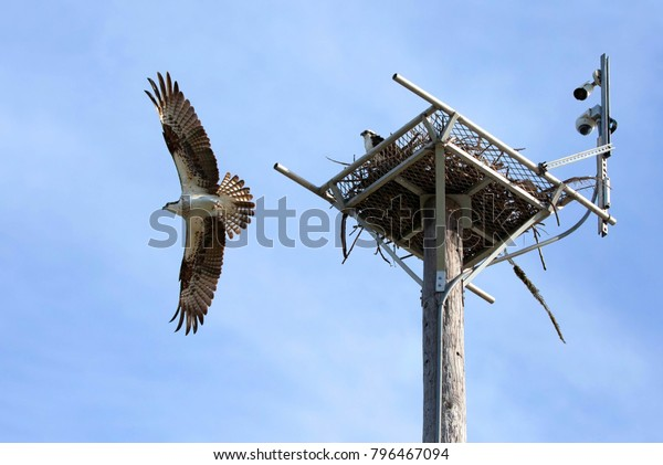 With a live feed webcam over their nest in Fort Myers Beach.  An osprey with wings spread wide fly off his nest while his mate stays.  Ospreys mate for life and typically live for 7-10 years.