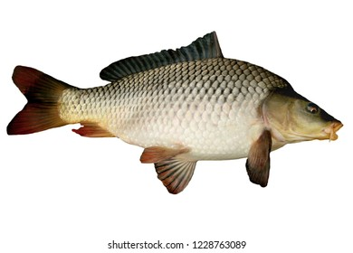Live fish big carp isolated on white background
