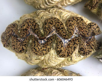 Live Giant clam (Tridacna gigas) from Fiji.Tridacna gigas is one of the most endangered clam species.