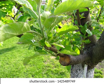 Live green cuttings at grafting apple tree in cleft with growing leaves, young twigs and label with the name of apple cultivar. Closeup.