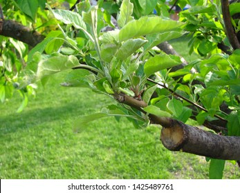 Live green cuttings at grafting apple tree in cleft with growing leaves and young twigs. Closeup.