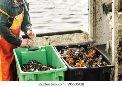 Live lobsters caught in boxes on a fishing boat, New England, Maine, USA