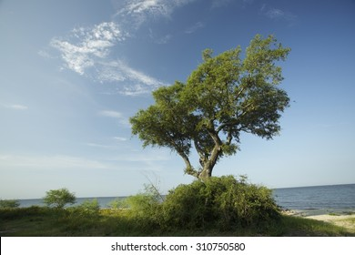 Live lone oak tree on the gulf coast, Katrina survivor.