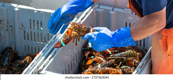 Live Maine lobsters being sorted by size in to seperate bins to be sold at market with obe being moved by fisherman in blue glove. - Shutterstock ID 1737363044