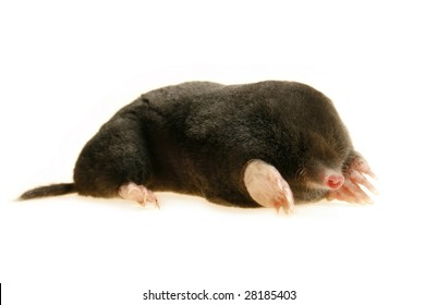 live mole showing claws and paws, studio isolated, talpa europaea
