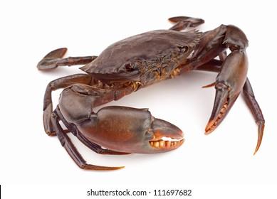 Live Mud Crab - Scylla serrata. Unsharpened file