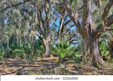 Live Oak forest in central Florida