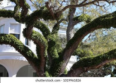 Live Oak Tree Charleston