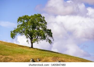 Live oak tree (Quercus agrifolia) up on a hill; cloudy sky background; South San Francisco bay area, San Jose, California