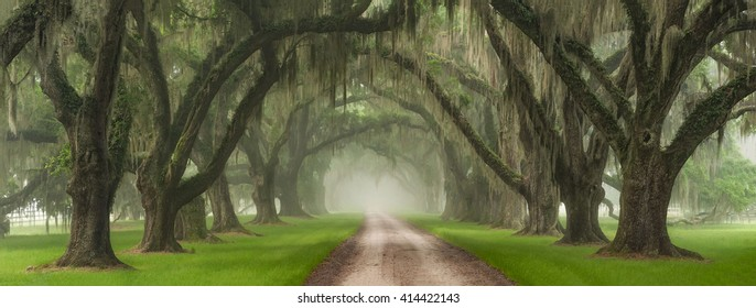 Live Oak Tree Tunnel Over Southern Plantation Entrance Outside Of Charleston South Carolina