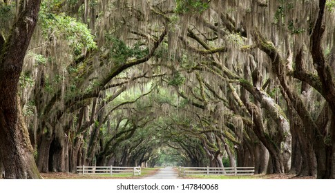 Live oak trees create a tunnel effect.