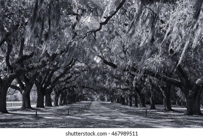 Live Oak Trees Lined Drive in Blue Tones