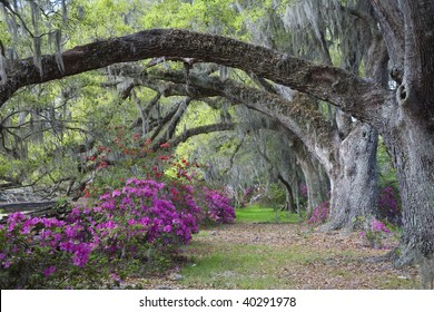 Live Oaks and colorful azaleas on Magnolia Plantation in Charleston South Carolina.