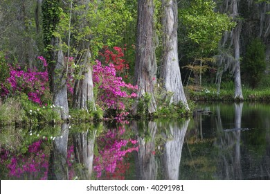 Live Oaks and colorful azaleas reflecting in pond on Magnolia Plantation in Charleston South Carolina.