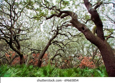 Live Oaks - Cumberland National Seashore
