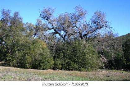 Live oaks in a meadow, California