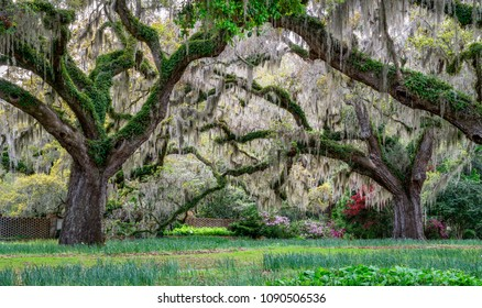 Live Oaks in Spring - South Carolina