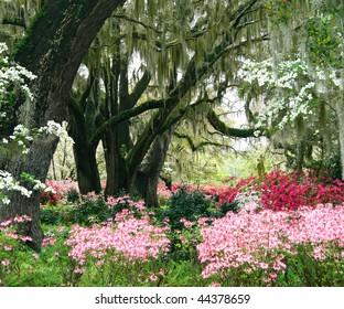 Live oaks and wild azaleas