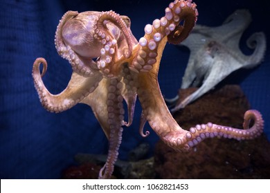 live octopus in clear water
