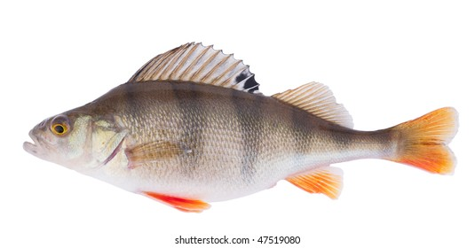 Live perch on white, accurate clipping path included in file