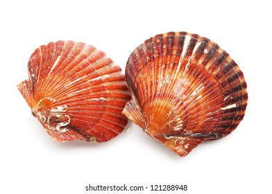 live scallops on the white background