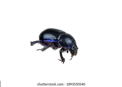 Live scarab beetle isolated on white background
