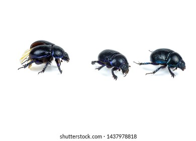 Live scarab beetles isolated on white background