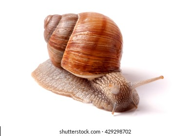 Live snail crawling on a white background close-up macro