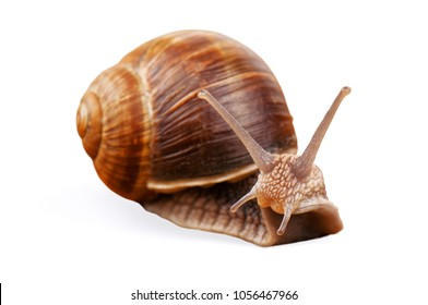 live snail isolated on white
