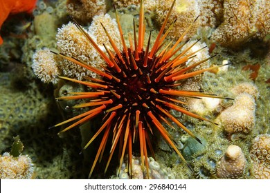 Live specimen of a reef urchin, Echinometra viridis, underwater in the Caribbean sea, Panama