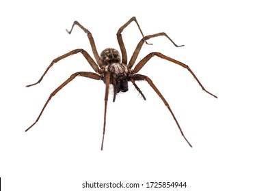 live terrible spider predator isolated on white