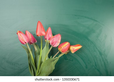 Live tulips on a background of blackboard with copy space