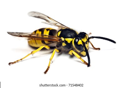 Live wasp isolated on white background