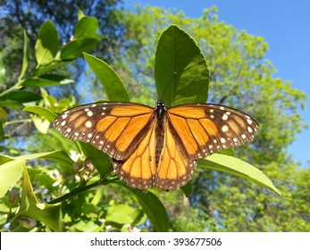 A lively monarch butterfly feeding on lemon blossoms.