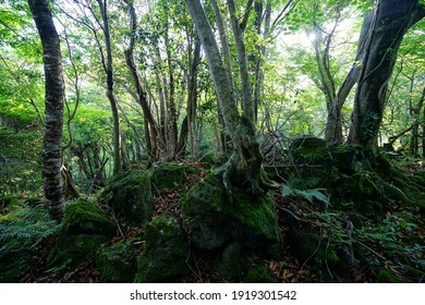 a lively spring forest with mossy rocks