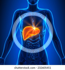 Liver - Female Organs Human Anatomy