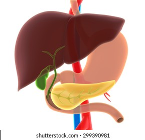 Liver, Gallbladder, and Pancreas Anatomy