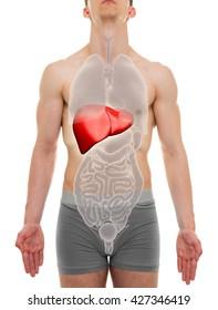 Liver Male - Internal Organs Anatomy - 3D illustration
