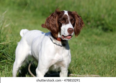 A liver and white female Brittany Spaniel standing in a field on a check cord.