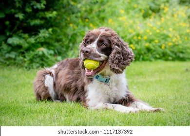 A liver and white purebred English Springer Spaniel dog lying down in field or garden with tennis ball in his mouth.