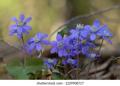 Liverleafs, Hepatica nobilis, forest in the background