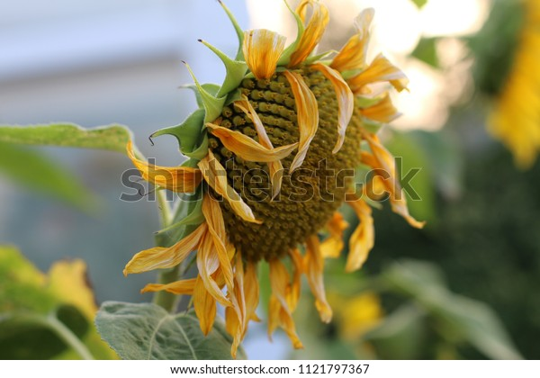 Liverpool, England. 10/09/2014. Dying sunflowers fading away in my garden.