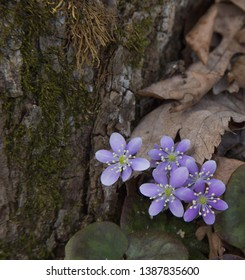 liverwort wildflowers growing next to a tree in very rich soil, at a state park in Waupaca county in Wisconsin, united states north America
